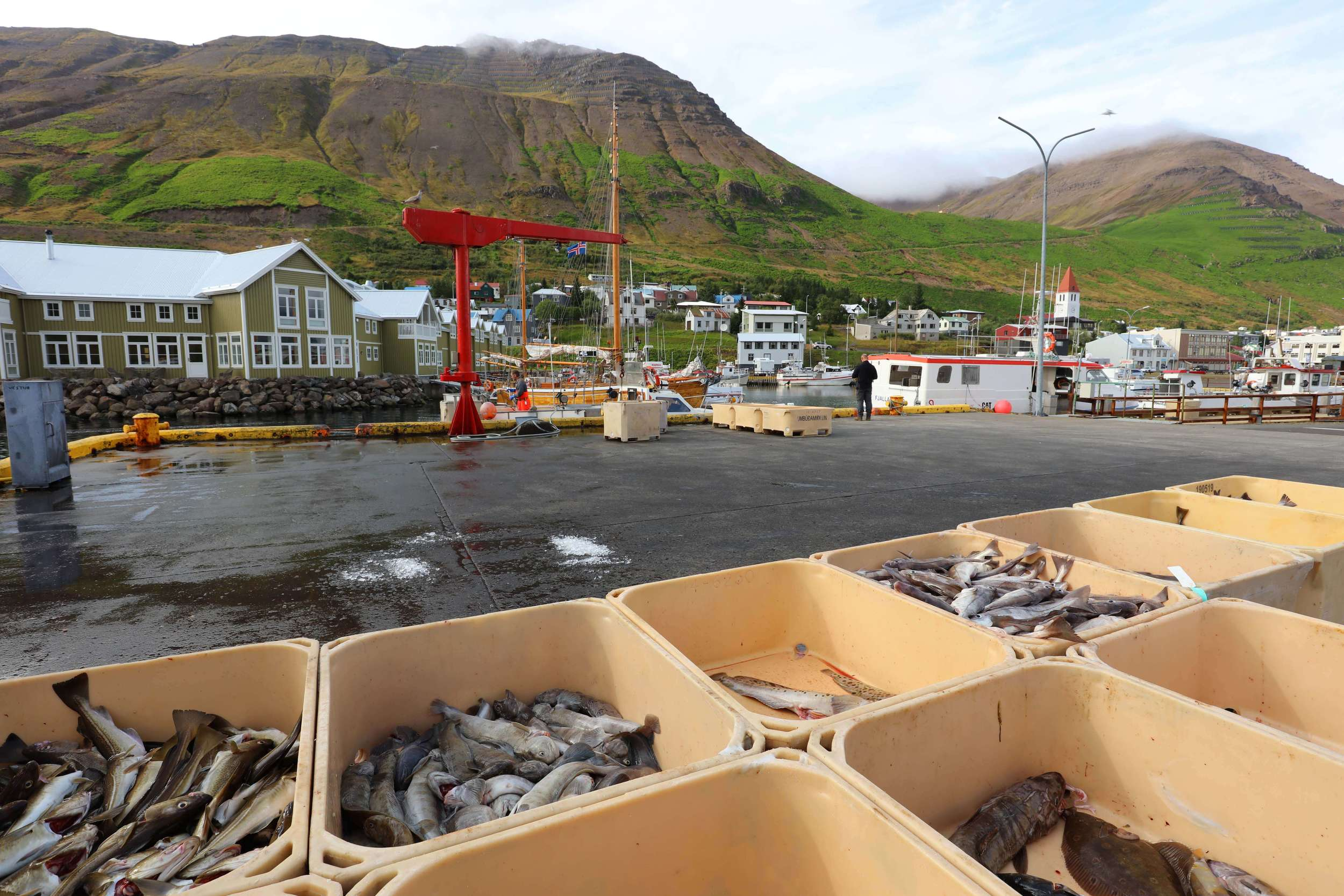 Catch of the day at Siglufjordur harbor in North Iceland