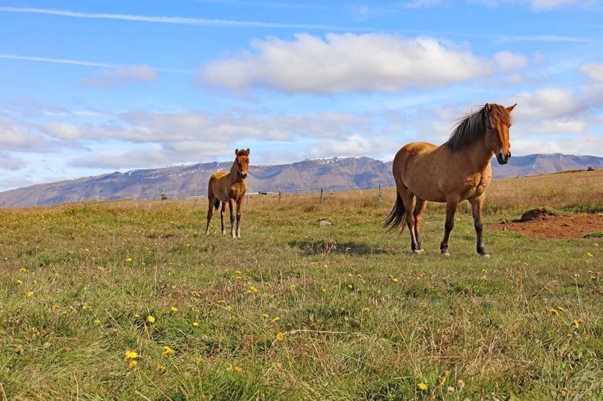Icelandic horses on Trollaskagi Peninsula