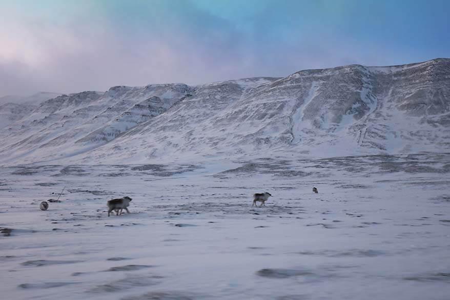 Reindeer in Svalbard in winter