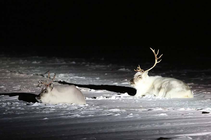 Svalbard reindeer in winter