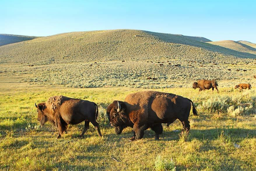 Bison in Lamar Valley in Yellowstone in July