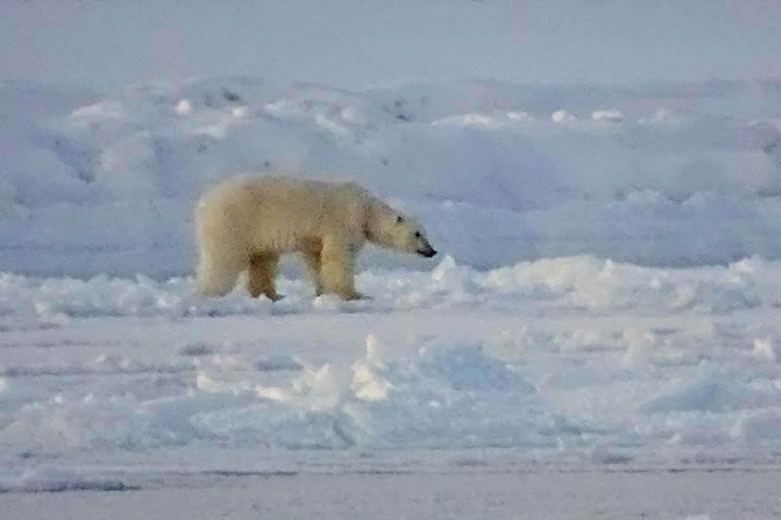 Polar bear seen from a boat cruise in Svalbard