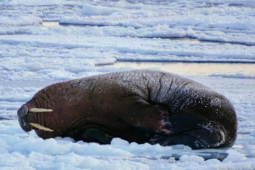 Walrus seen on a boat tour in Svalbard