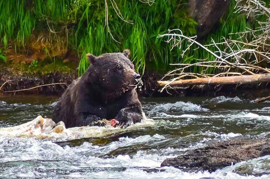 Bear in Yellowstone NP in September