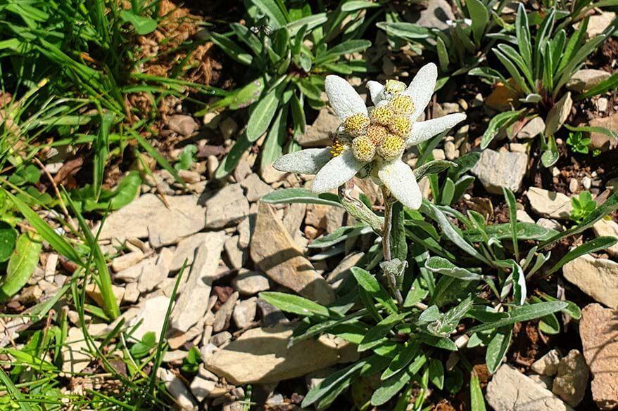 Edelweiss at the Botanical Alpine Garden in Schynige Platte