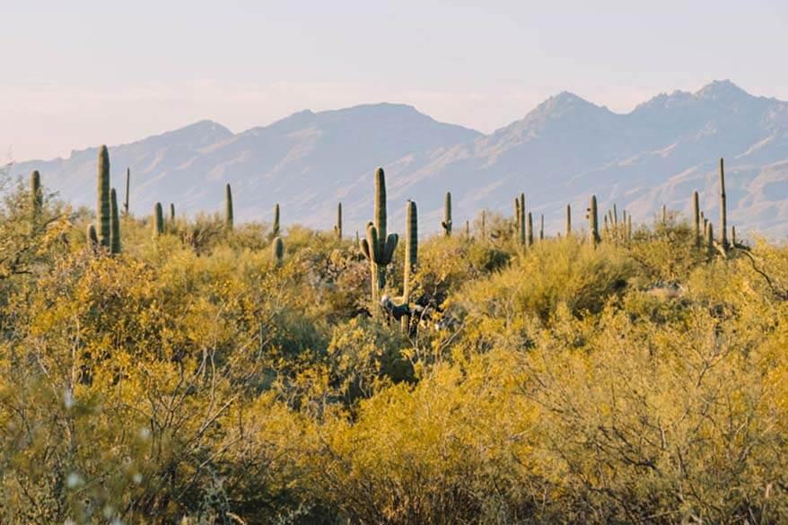 Saguaro National Park in November