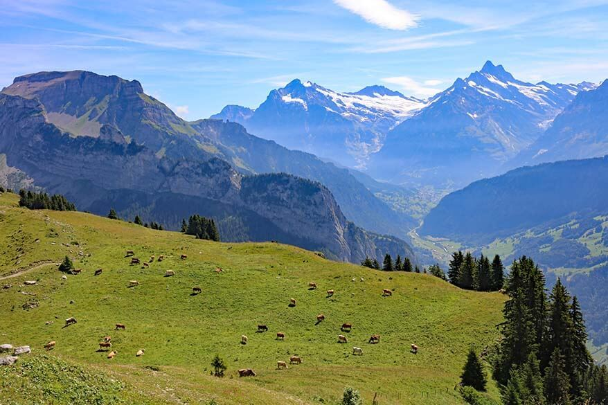 Swiss cows and alpine pastures at Schynige Platte