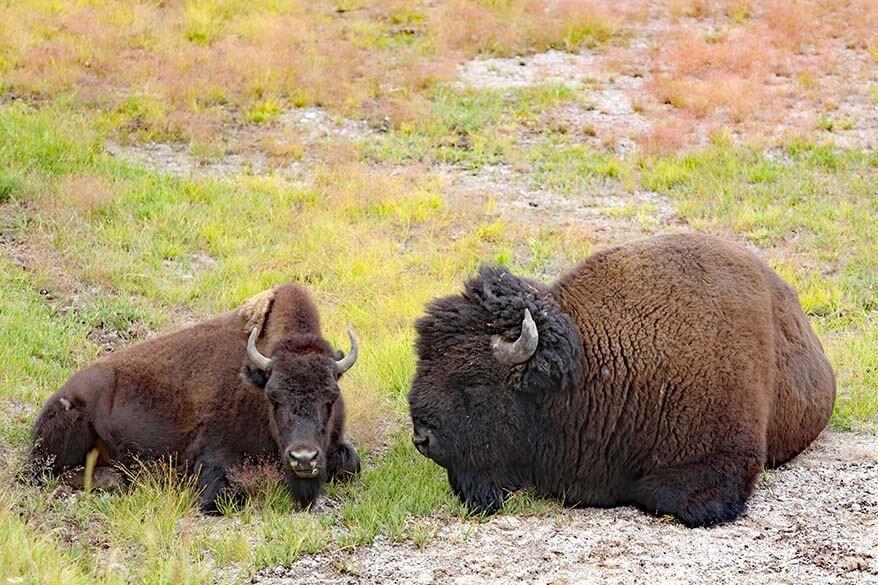 Bison in Hayden Valley in Yellowstone