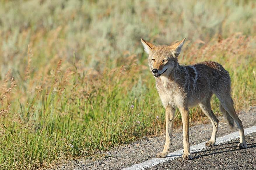 Coyote in Yellowstone