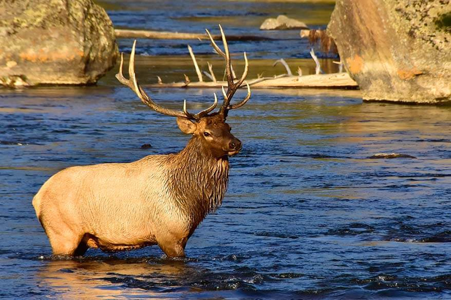Elk in the river in Yellowstone