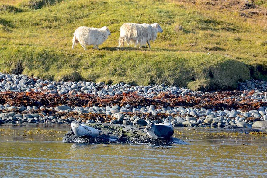 Hvammstangi seals and sheep