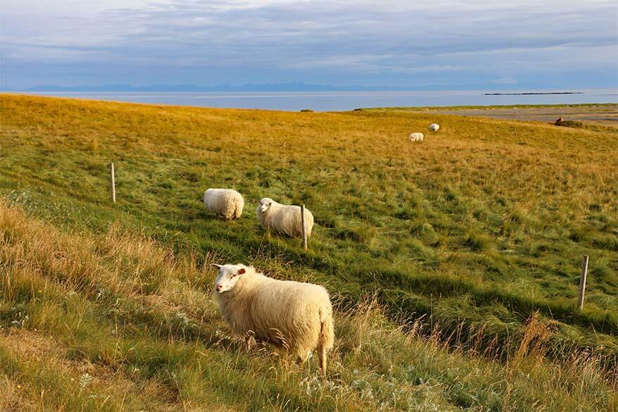 Sheep in the West Fjords