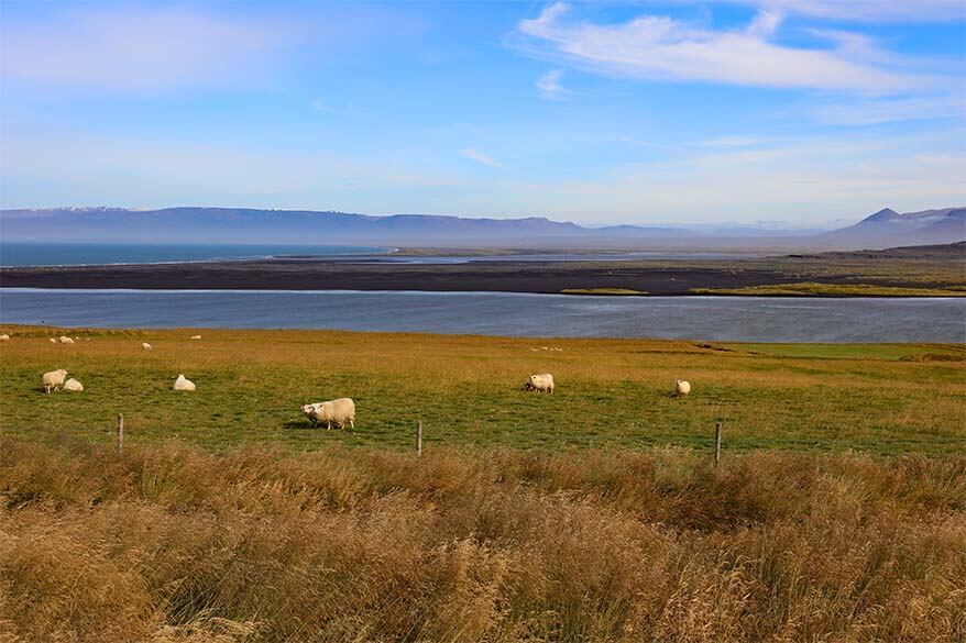 Sheep on the Vatnsnes Peninsula in Iceland