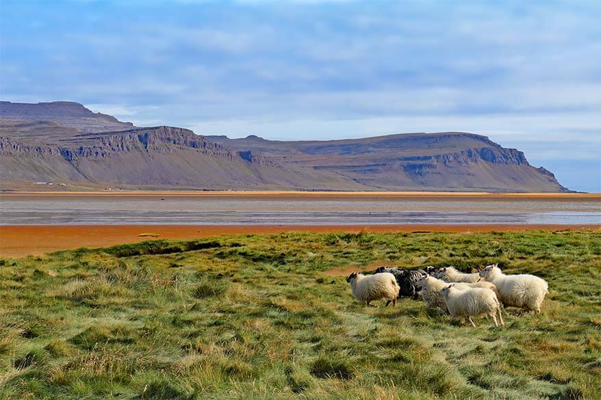 Sheep at Raudisandur Beach in the Westfjords region in Iceland