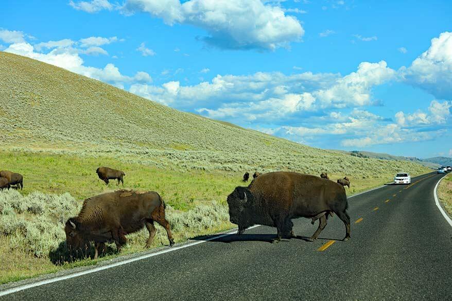 Yellowstone wildlife tour - bison in Lamar Valley