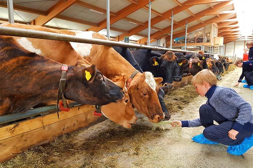 Cows at Kaffi Ku near Akureyri in Iceland