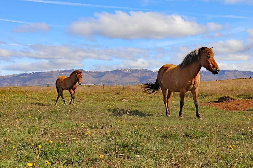 Icelandic horses in Trollaskagi Peninsula