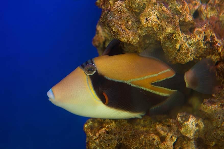 Reef triggerfish - Hawaii state fish