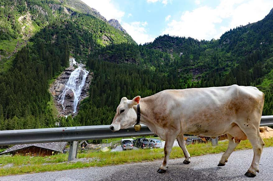 Cow on the road at the Grawa Waterfall in Stubai Austria