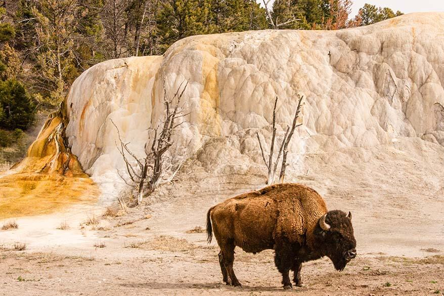 Bison at the Upper Terrace Drive in Mammoth Hot Springs Yellowstone