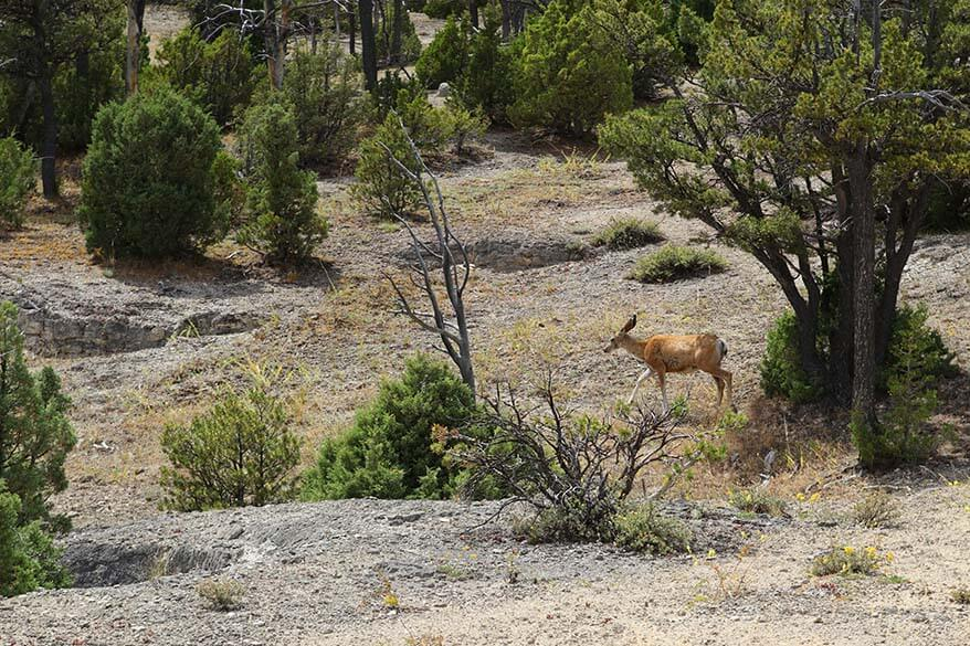 Deer at the Upper Terrace Loop Drive in Mammoth Hot Springs geothermal area