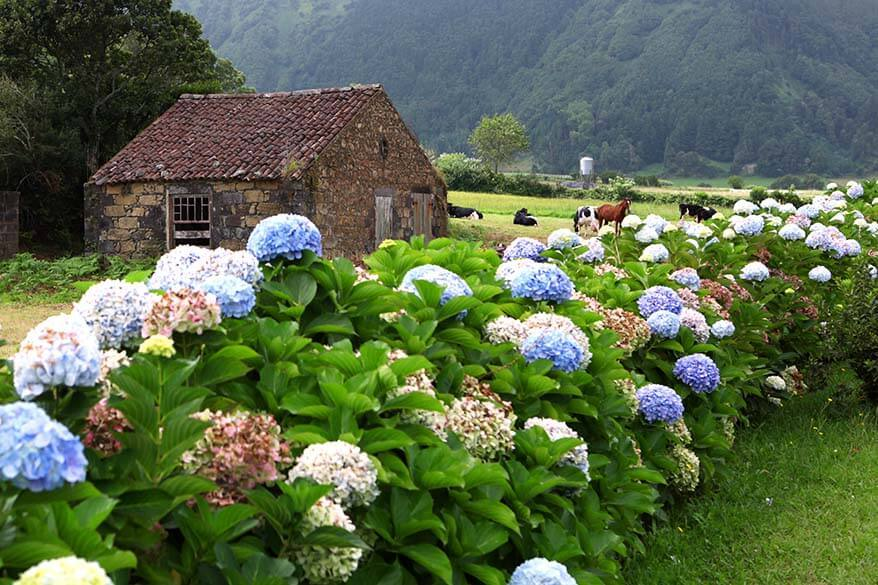 Hydrangeas on Sao Miguel Island in the Azores