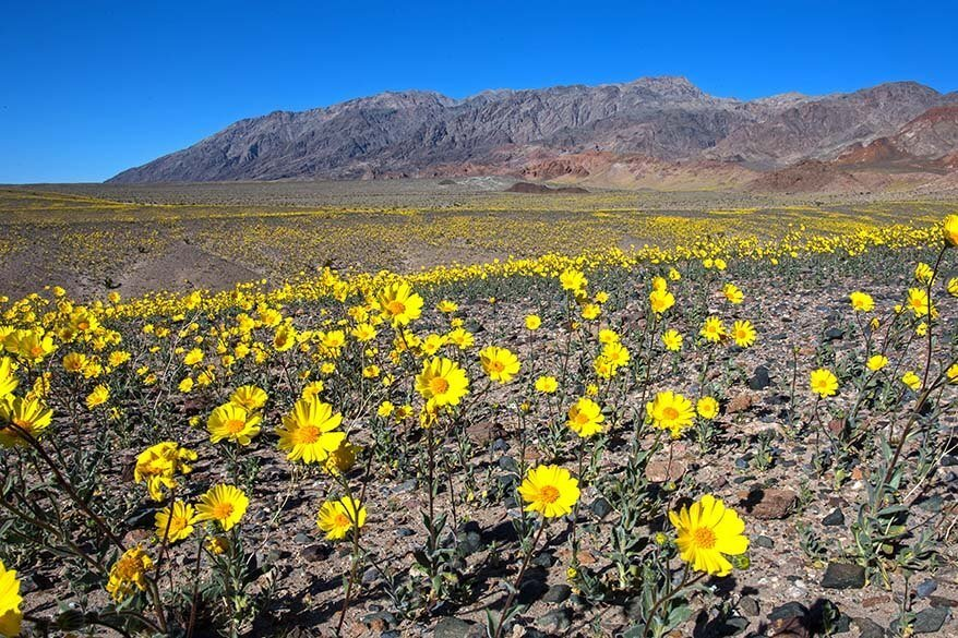 Death Valley super bloom in February