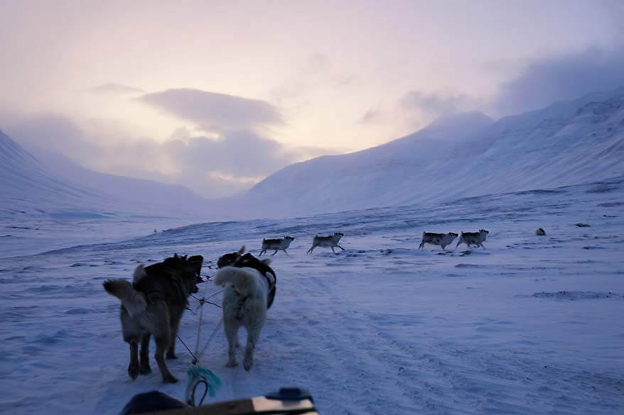 Svalbard reindeer seen on a dog sledding trip in February
