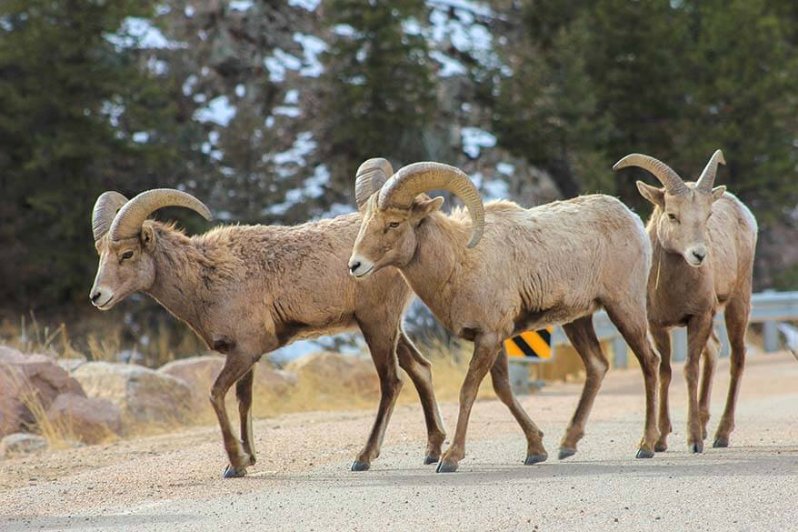 Bighorn sheep in Rocky Mountain National Park in January