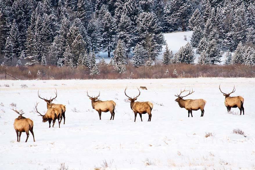 Wildlife in Rocky Mountain National Park in winter