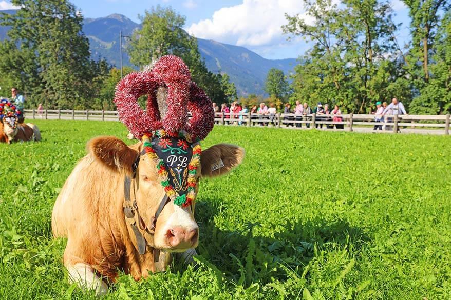 Almabtrieb cattle drive in Austria in September