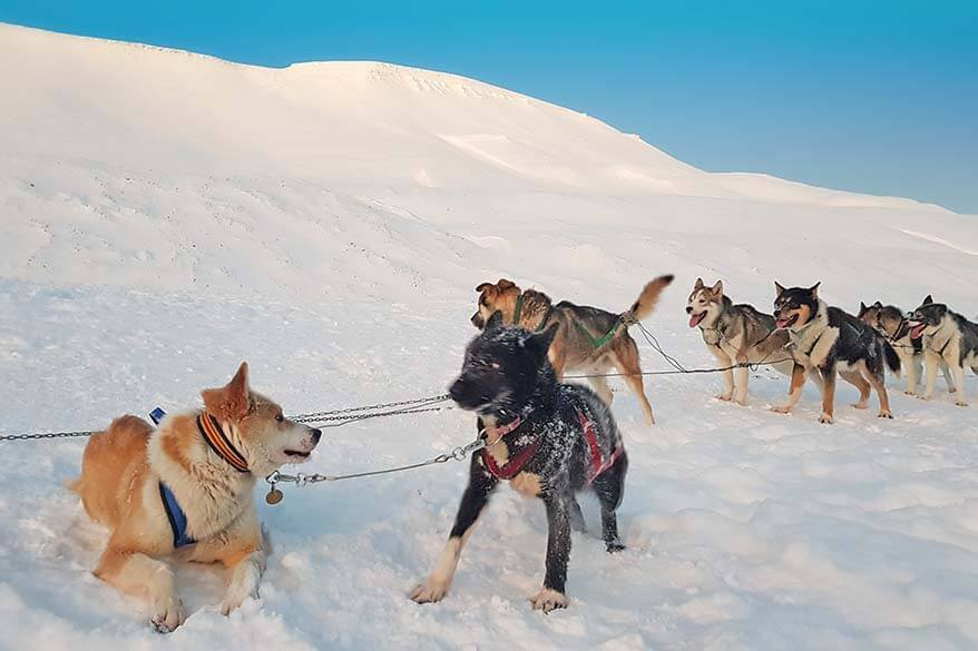 Huskies of Green Dog Svalbard