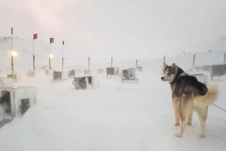Husky at Green Dog Svalbard
