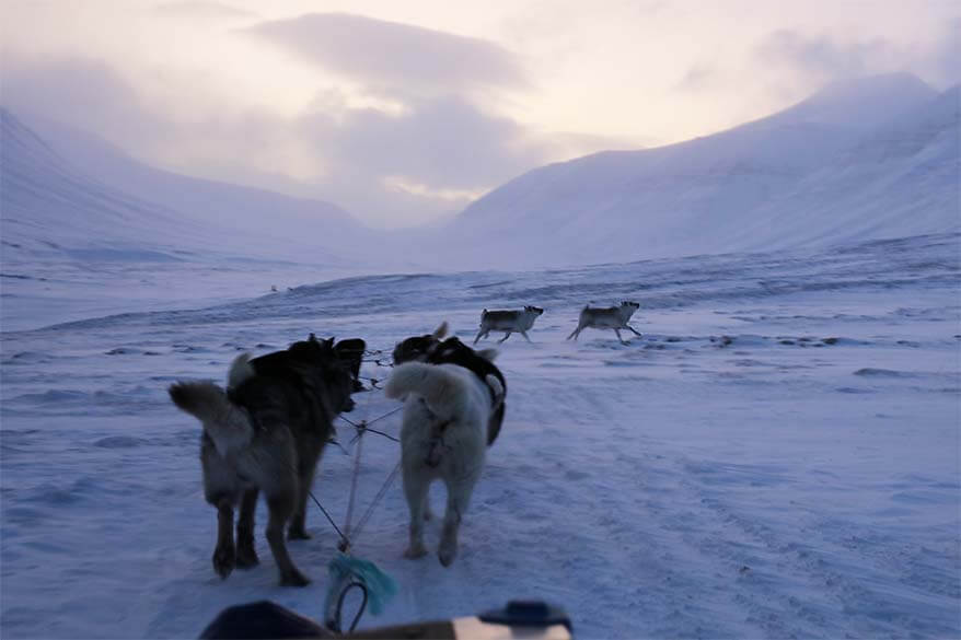 Reindeer crossing the path on the dog sledding tour in Svalbard