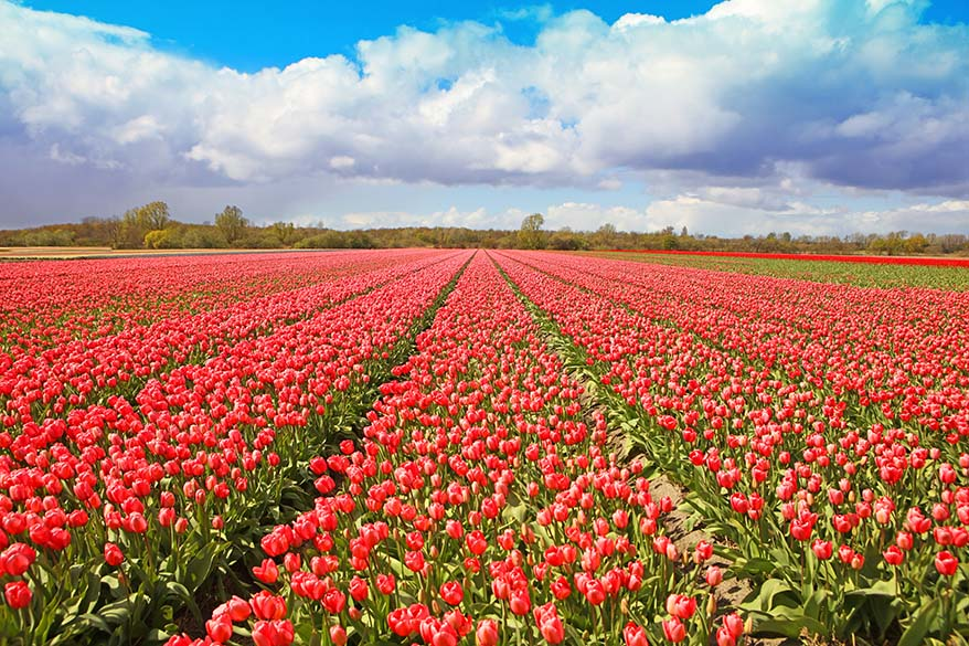 Tulip fields in the Netherlands in April