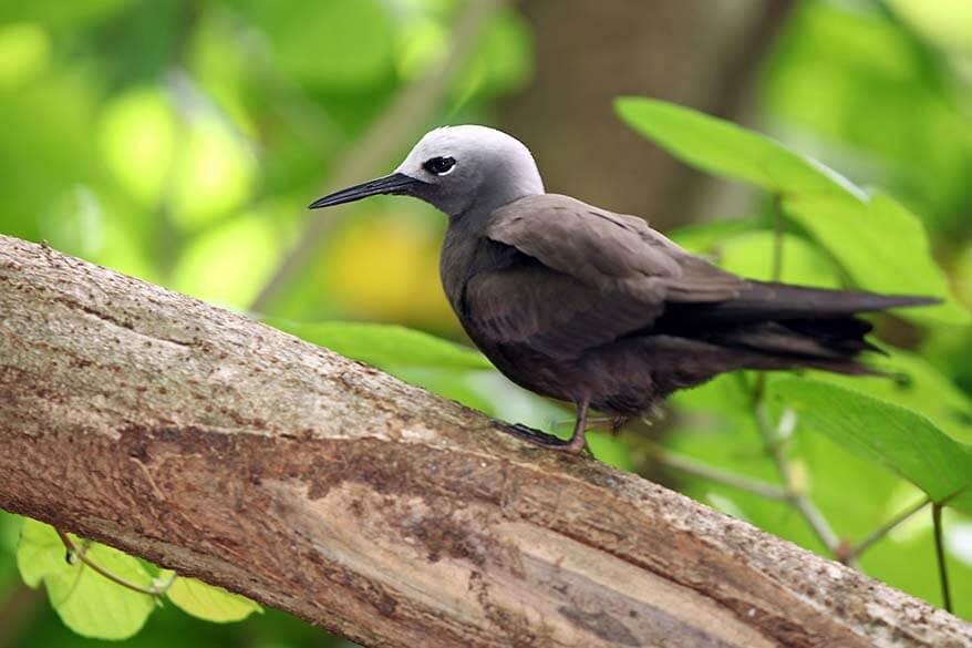 Birds on Cousin Island in Seychelles