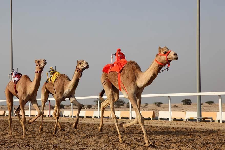 Camel racing with robot jockeys in UAE