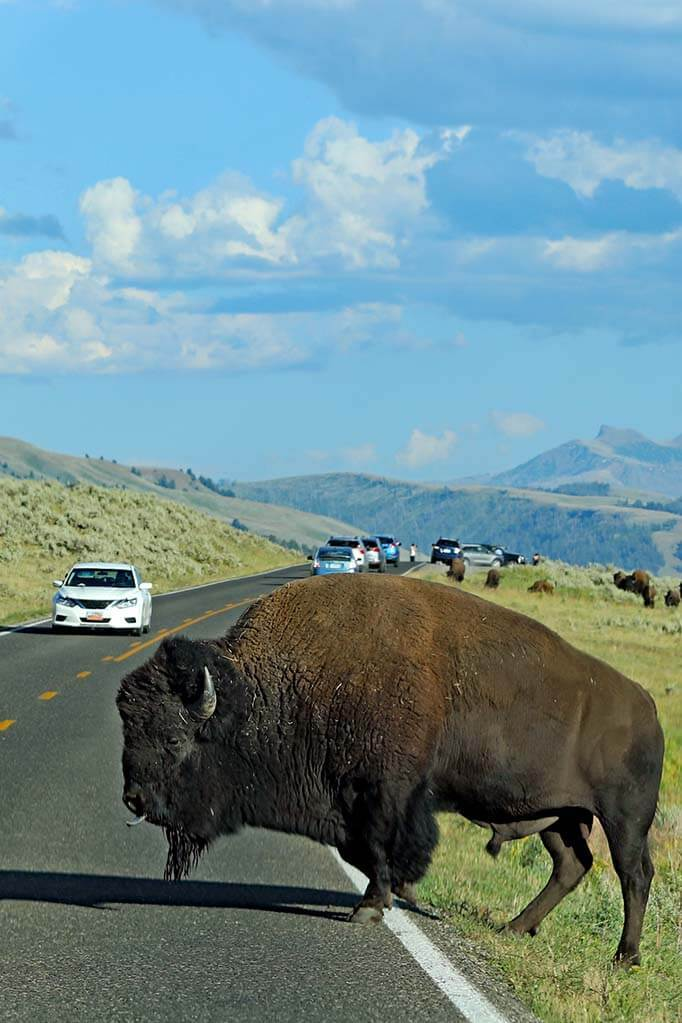 Bison on the road in Yellowstone National Park in the USA