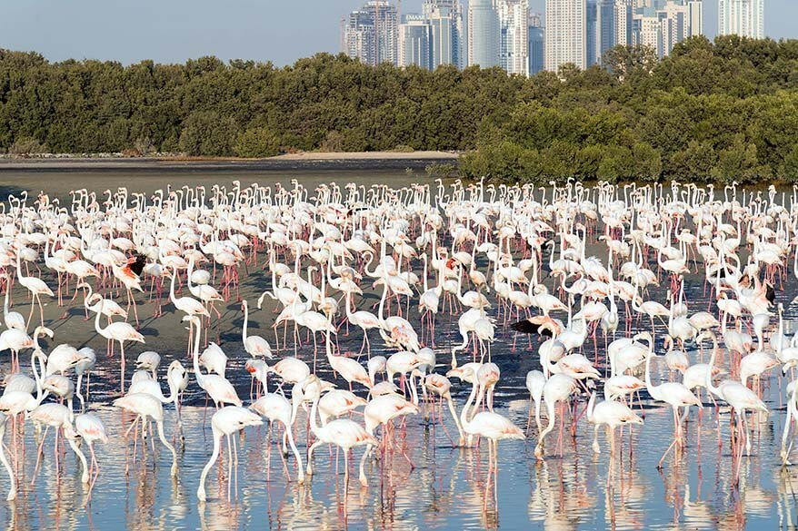 Free things to do in Dubai - flamingos at Ras Al Khor Wildlife Sanctuary