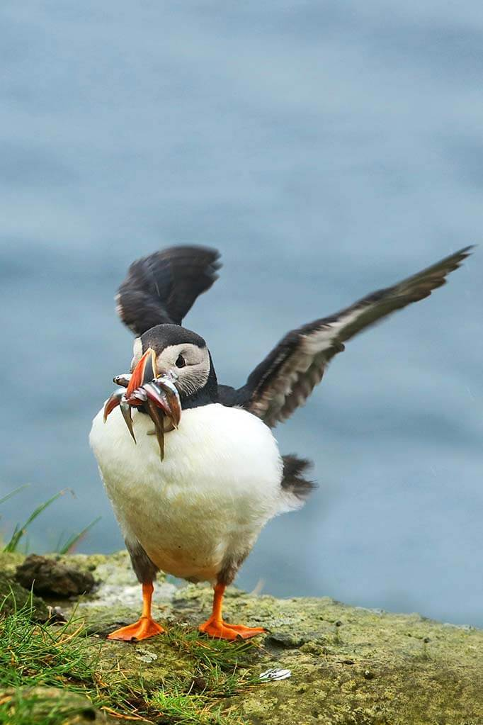 Iceland tours to see puffins