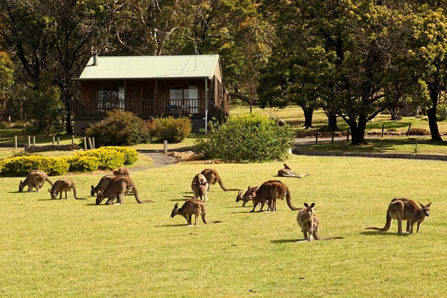 Kangaroos at our accommodation in the Grampians, Australia