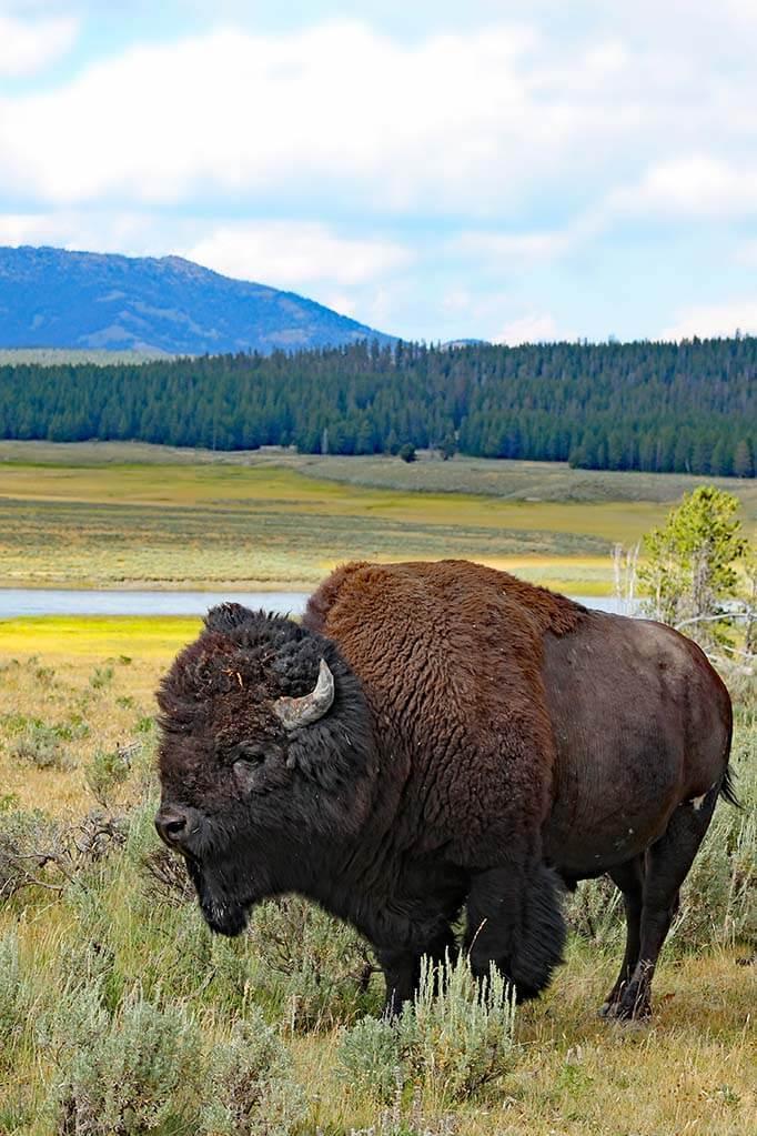 Hayden Valley bison in Yellowstone