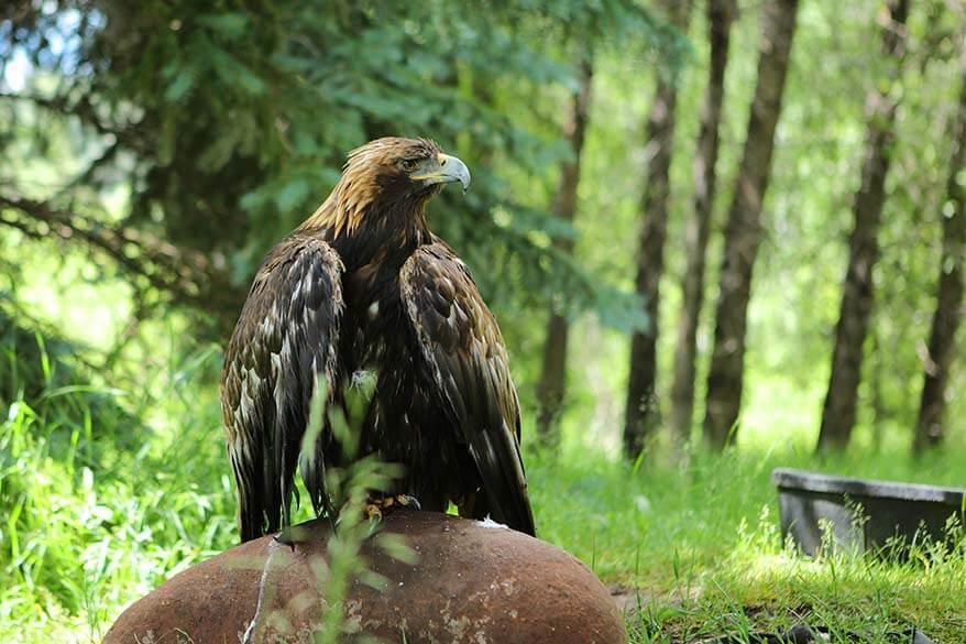 Eagle at Aspen Center for Environmental Studies