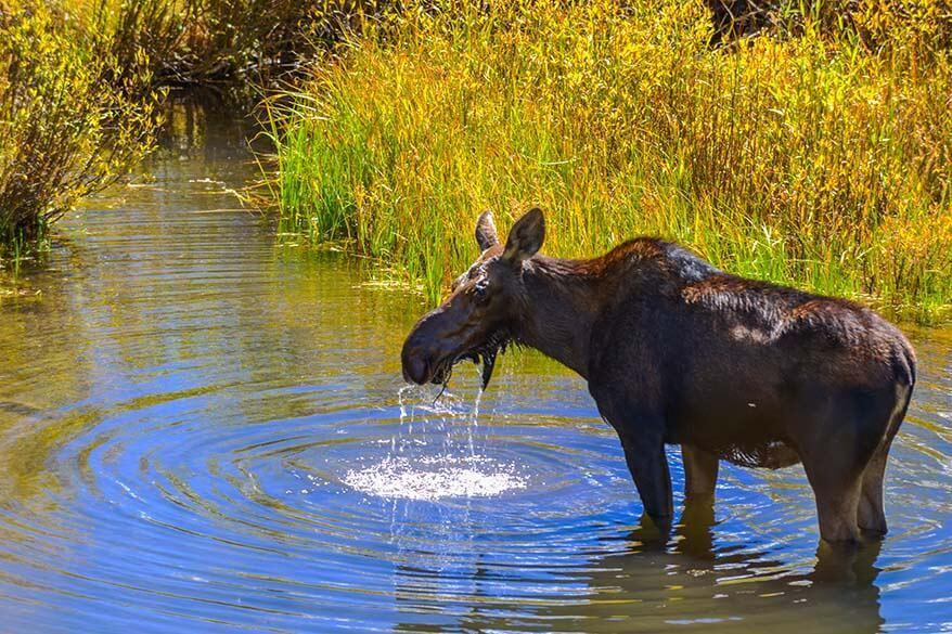 Moose near Aspen Colorado