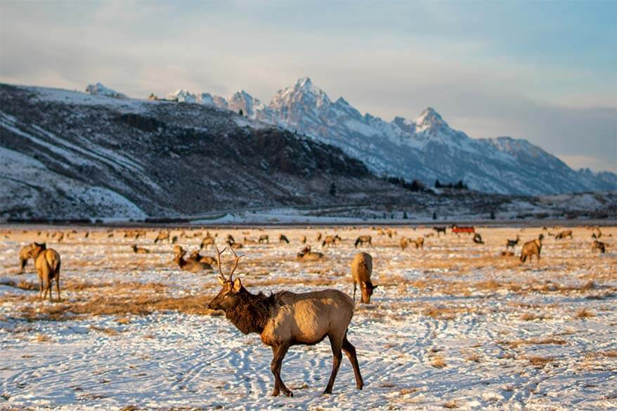 National Elk Refuge is one of the best places to visit in Jackson Hole