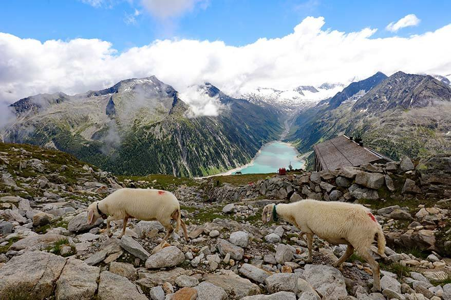 Sheep at Olpererhutte overlooking Schlegeis lake in the distance.