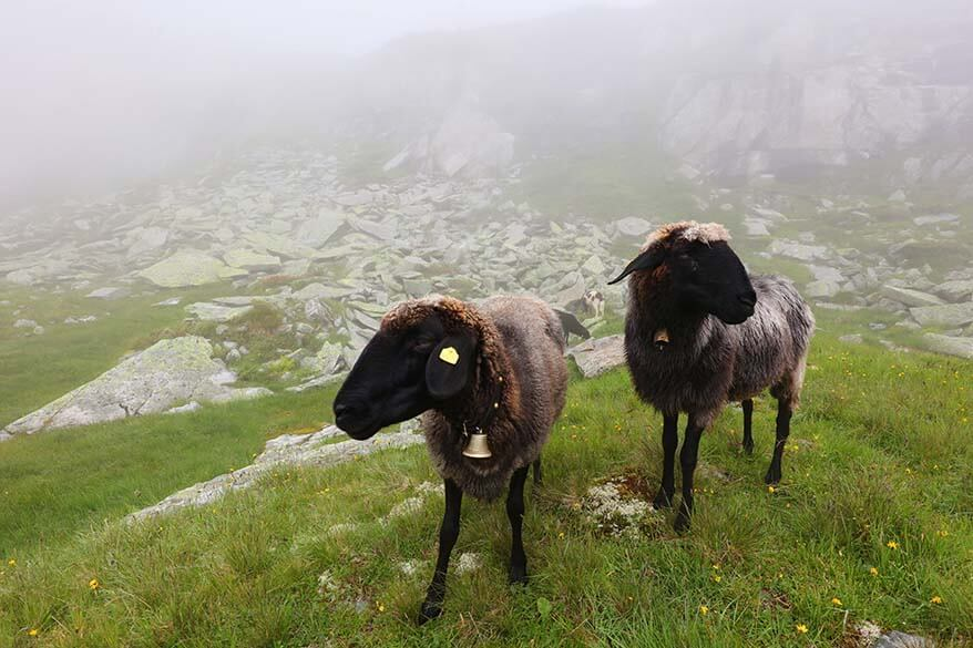 Sheep in the mist along the Olperer hut hike.