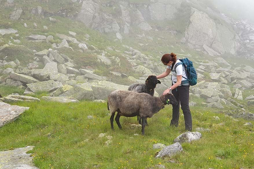 Sheep we met on the Olperer hut hike