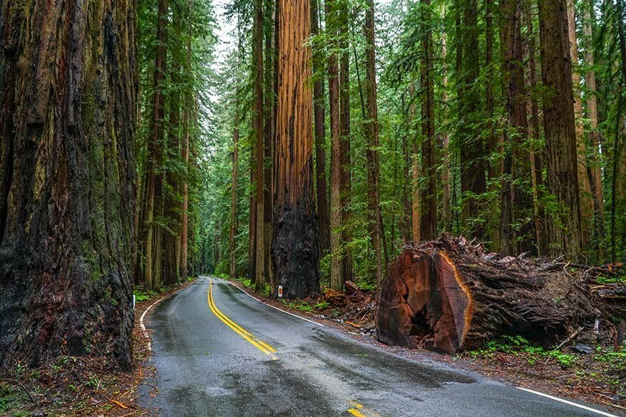 Avenue of the Giants at Redwood National and State Parks