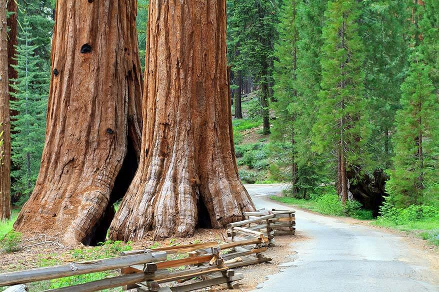 Giant sequoias in Mariposa Grove Yosemite
